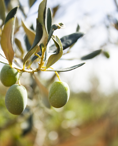 istria olive